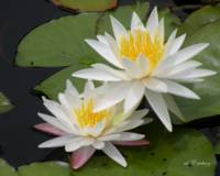 waterlily pair