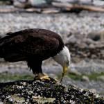 """""""Eagle"""