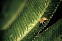 Jumping spider on a leaf