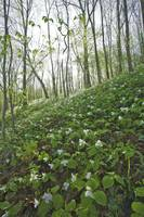 Trillium Hillside Little Miami Scenic River Spring
