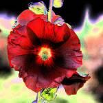 """Rosetrimire"" by garlanddunston"