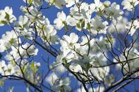 Dogwood and Blue Sky
