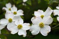Dogwood Blossoms 2