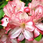 """Pink Azalea"" by amythomas"