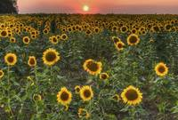 Sunflower Field Sunset 3 by Jim Crotty