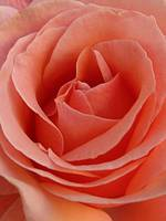 A Simply Beautiful Rose