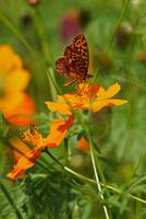 Butterfly and Cultivated Wildflowers