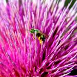 """Green Pollinator on Thistle"" by rayjacque"