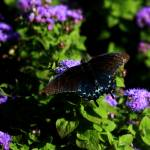 """The Pipevine Swallowtail"" by rayjacque"