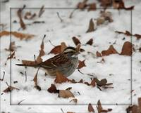 White Throated Sparrow-My First