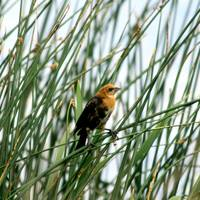 Young Yellow- Headed Blackbird