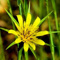 Arizona Wildflower- Yellow Salsify
