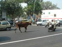 Cow in Road (1 of 243)