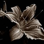 """Day Lily (Tinted)"" by bavosiphotoart"