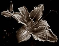 Day Lily (Tinted)