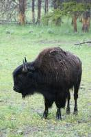 Buffalo stands in the rain.