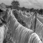 """sisal plantation Brazil_it2076"" by brazilphotos"