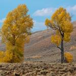 """Autumn Cottonwood Trees"" by thegreekfox"