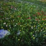 """Mountain Wildflowers near Logan Pass Glacier Natio"" by jimcrotty"