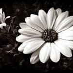 """Daisies"" by bavosiphotoart"