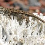 """Western fence Lizard on a coral"" by eyalna"