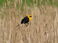 Yellow Head Black Bird