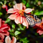 """Monarch Butterfly and Dahlia Flowers"" by johncorney"