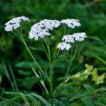 """Yarrow Flower Heads  (20247-RDA)"" by rodjohnson"