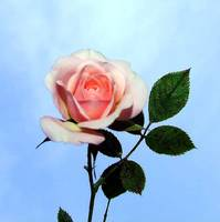 soft pink rose against sky background