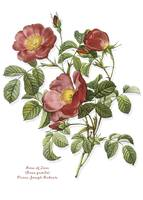 Rose of Love, Redoute