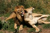 Lion and Lioness Affections
