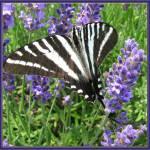 """Zebra Swallowtail"" by GlendaBorchelt"