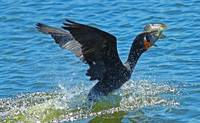 Cormorant with Fish #1