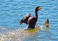 Cormorant Drops Fish