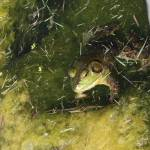 """""""Frog"""" by karmaphotos"""