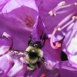 """Bee on purple flower 2"" by karmaphotos"