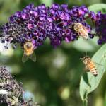 """Bees on purple butterfly bush."" by karmaphotos"