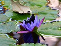 Common Mormon in Water Lily