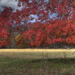 """Maple in Autumn Cades Cove"" by jimcrotty"