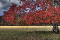 Maple in Autumn Cades Cove
