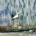 """Wading Bird"" by peacelane"