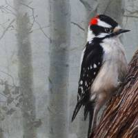 """foggy forest downy woodpecker"" by rchristophervest"
