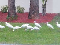 Ibis having breakfast