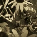 """blackeyed susans in sepia"" by jammingene"