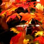 """firery leaves"" by jammingene"