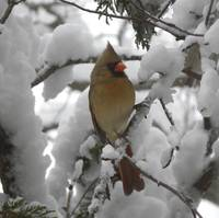 Female Cardinal in Snow