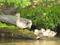 Momma duck and her babies