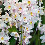 """Odontioda Orchids"" by ImageArt-Photography"