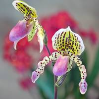 Slipper Orchid