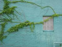 Blue Wall and Vine in Kansas City